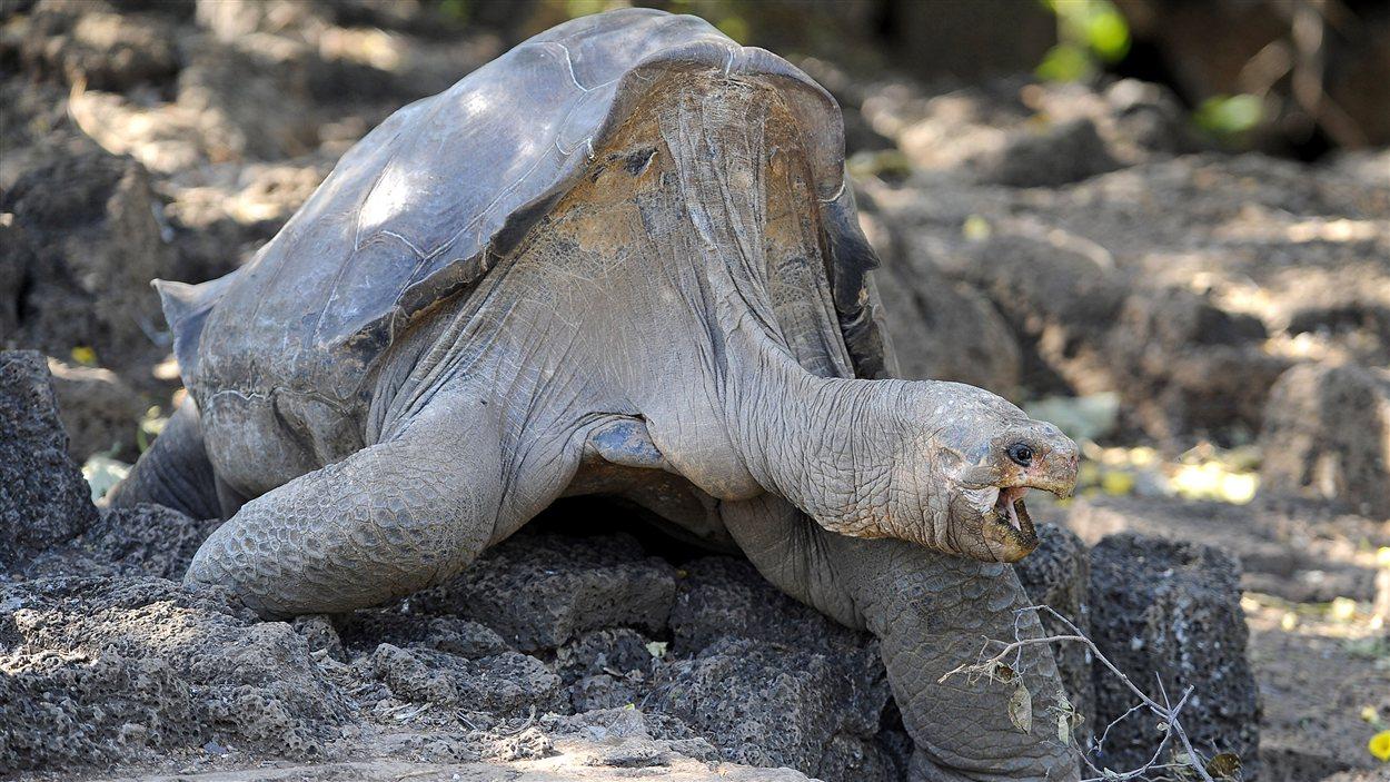 La tortue géante Lonesome George