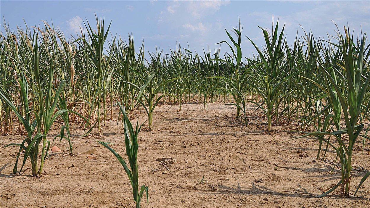 Le sol desséché d'un champ de maïs, au Kentucky, le 5 juillet