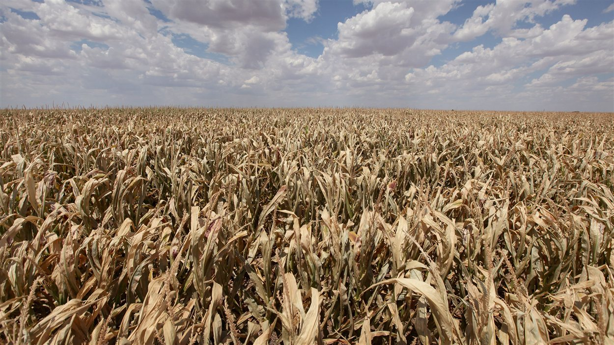 Un champ de blé aux États-Unis