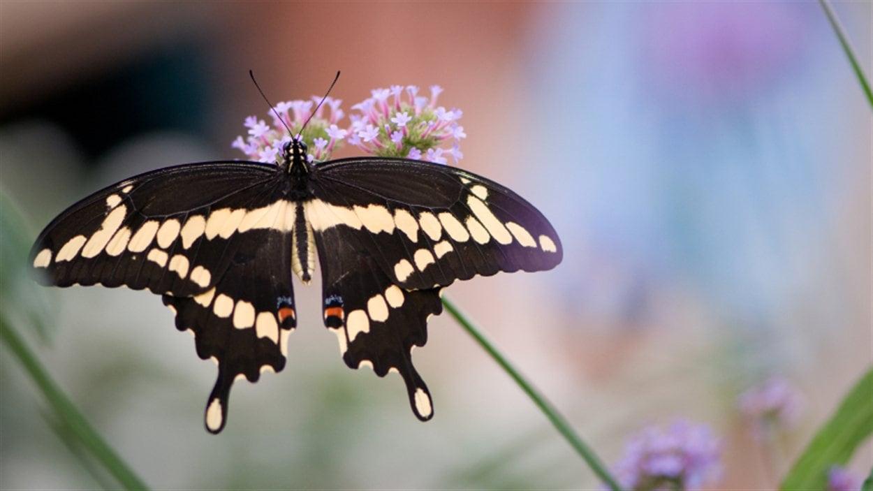 Un papillon Grand porte-queue