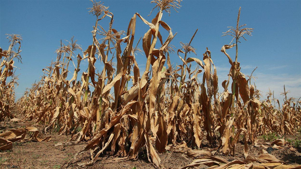 Des plants de maïs peinent à survivre en raison de la sécheresse près d'Oakton, dans l'État d'Indiana.