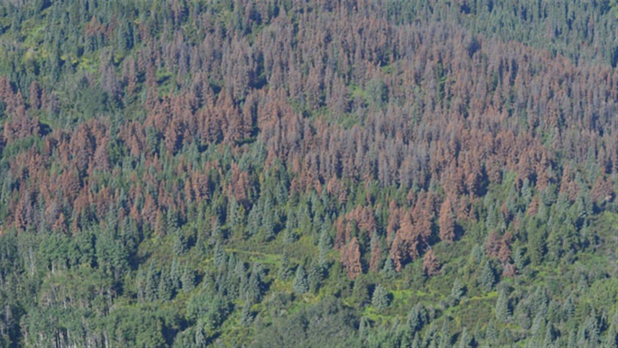 Des arbres rongés par le dendroctrone du pin Ponderosa en Colombie-Britannique