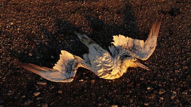 De nombreux fous de Bassan ont été retrouvés morts dans l'Est du Québec