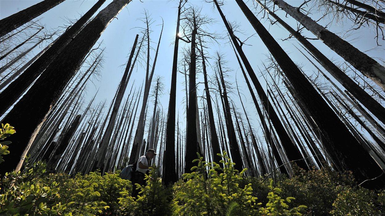 © Presse canadienne/Jamie Lusch  Arbres brûlés et regénération de la flore dix ans après un feu de forêt.