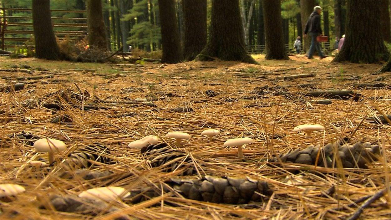 La richesse en champignons sauvages du territoire québécois demeure largement inexploitée.