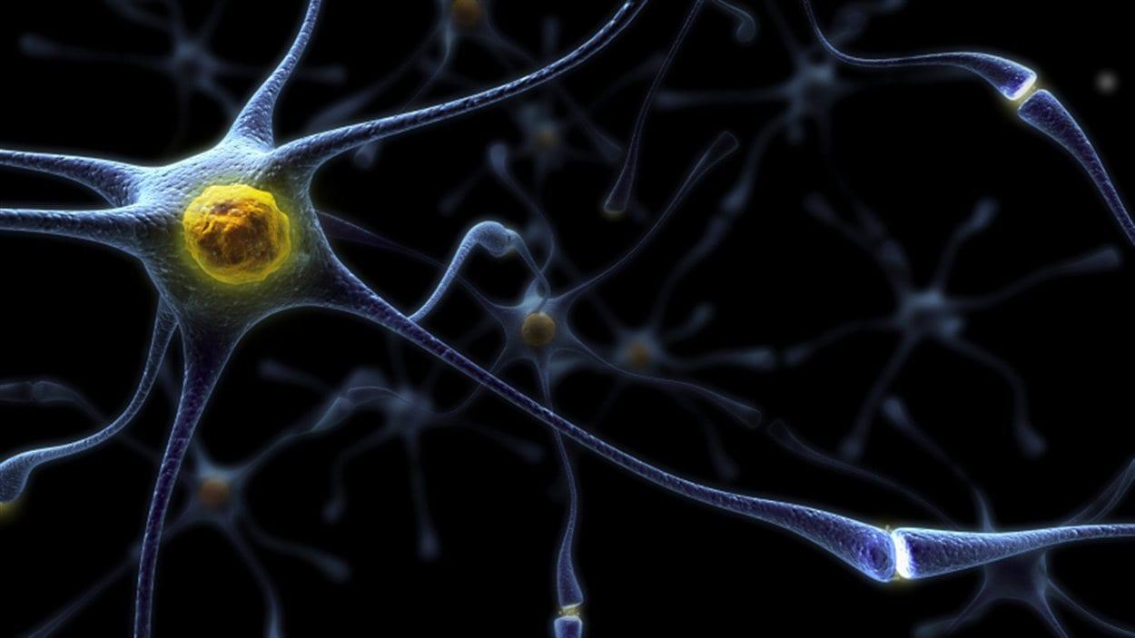 Représentation d'un neurone. À l'extrémité, il est possible d'apercevoir les synapses.