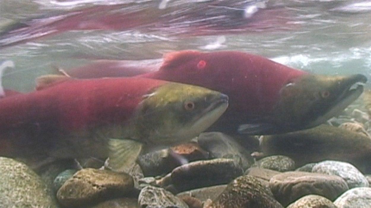 En 2009, moins de dix pour cent des onze millions de saumons rouges attendus dans le fleuve Fraser y sont revenus.  L'année suivante, la montaison rassemblait vingt-neuf millions d'individus.