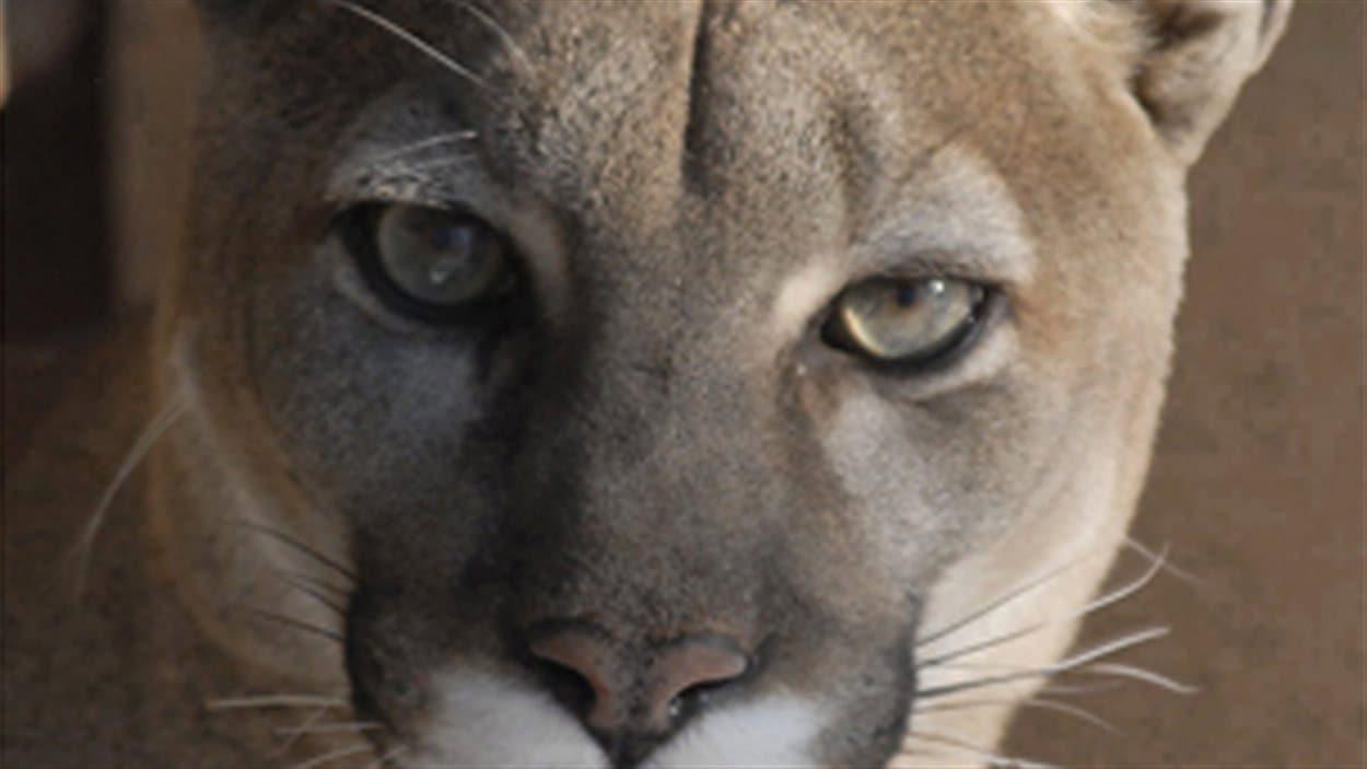 76b26758f8484 Le cougar de l Est