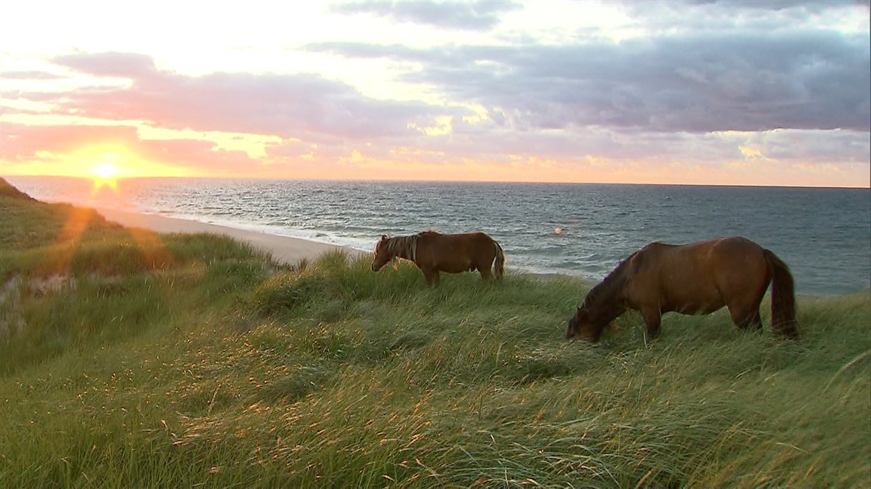 Les chevaux de l'île de Sable pourraient être les descendants de bêtes confisquées aux Acadiens entre 1755 et 1763.