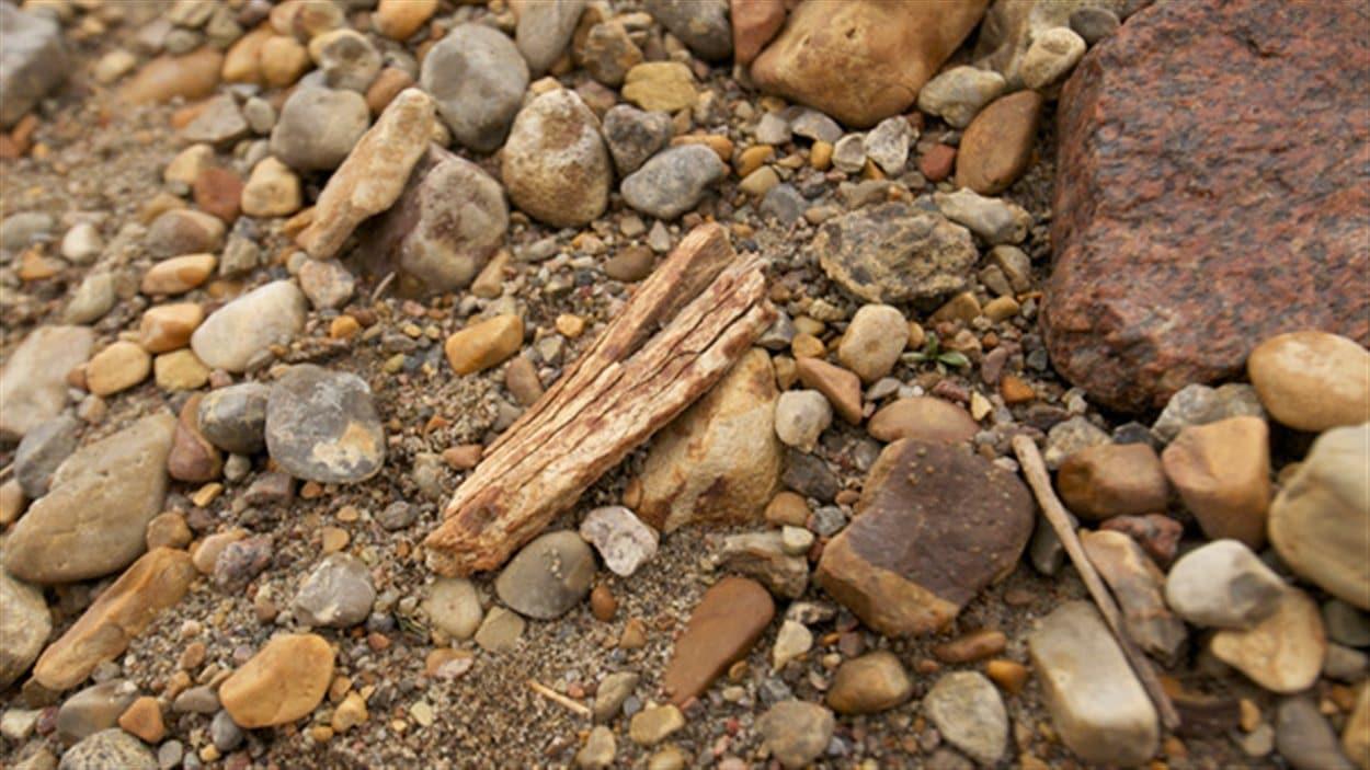 Plan rapproché d'un fragment d'os du chameau de l'Extrême-Arctique sur le sol au site Fyles Leaf Bed. Le fossile ressemble à du bois. Les restes mis au jour consistent en une trentaine de fragments d'un os de patte de chameau du Pliocène.