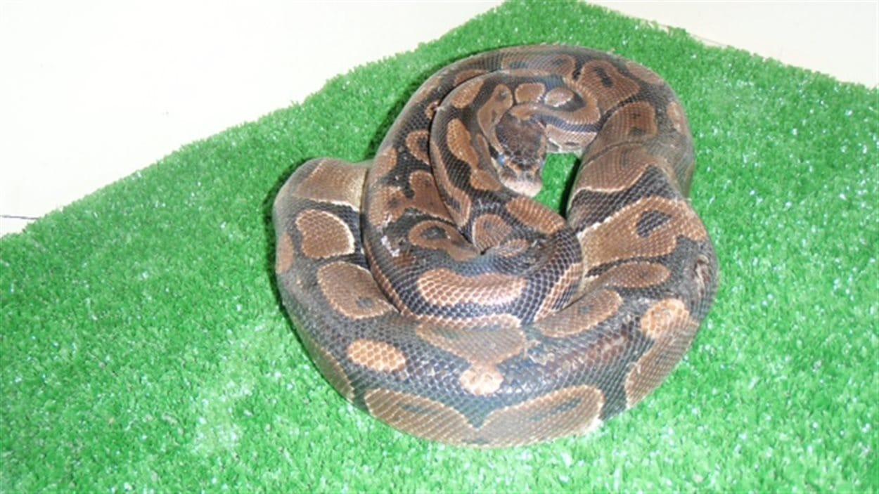 Ce python royal a été retrouvé le soir du 7 mai 2013 dans une poubelle, derrière un immeuble du croissant Wellington à Winnipeg.