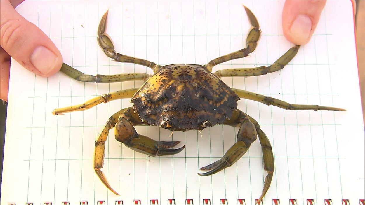 Le crabe vert, une des espèces envahissantes les plus nuisibles du monde, infeste les eaux côtières canadiennes.