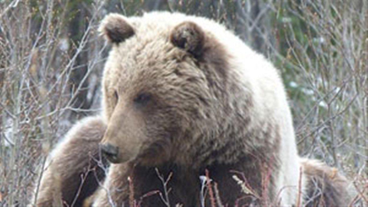 Ce grizzly a été tué le 22 mai au Yukon