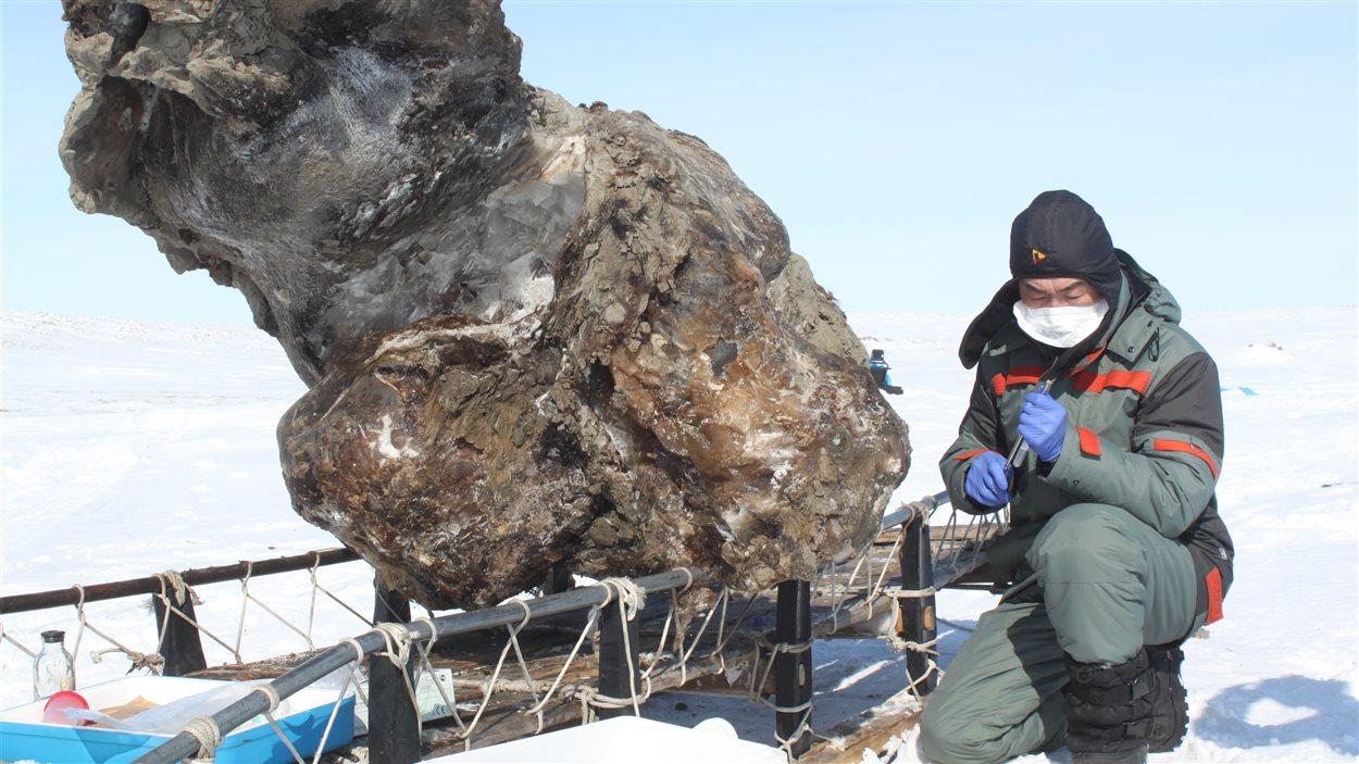 La carcasse de mammouth