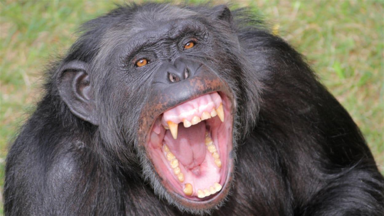 Un chimpanzé (archives)