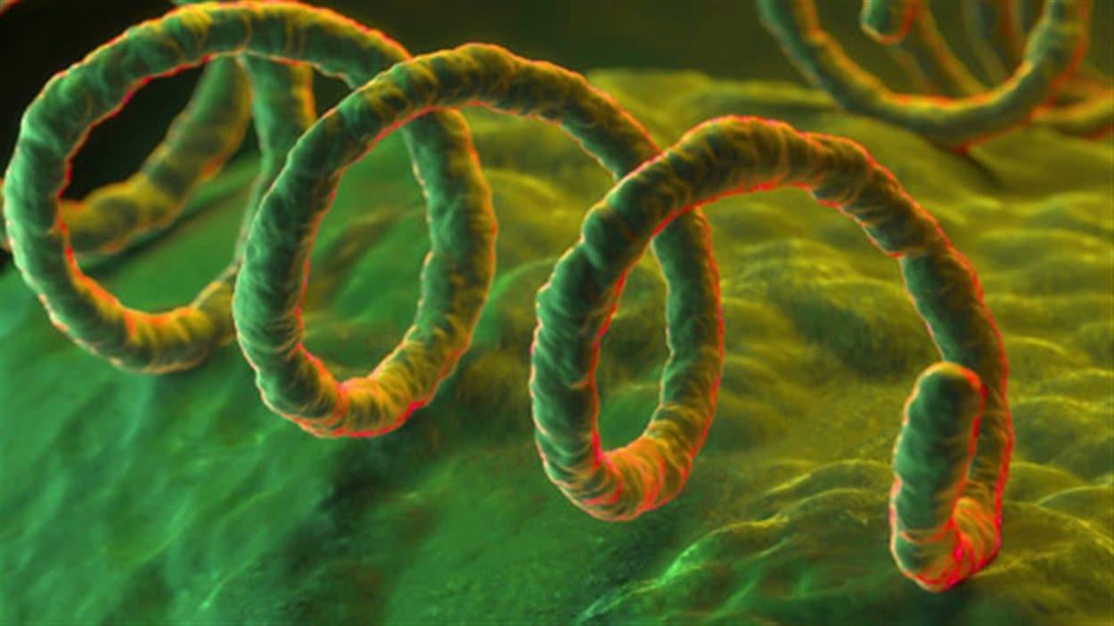 La bactérie responsable de la syphilis