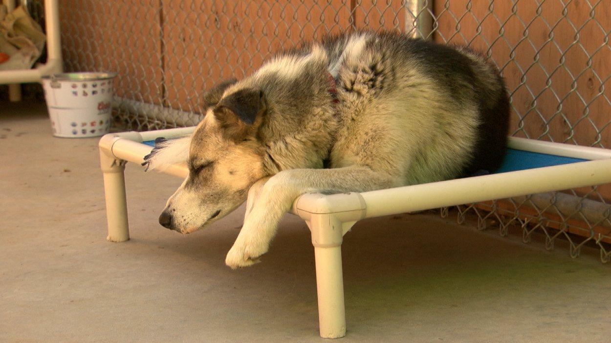 Un des chiens de traîneau abandonnés