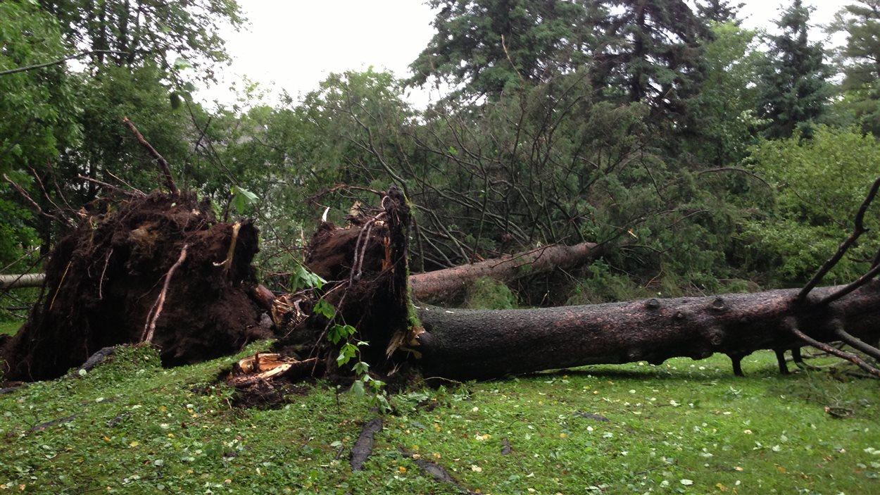 Un arbre déraciné à Prévost dans les Laurentides.
