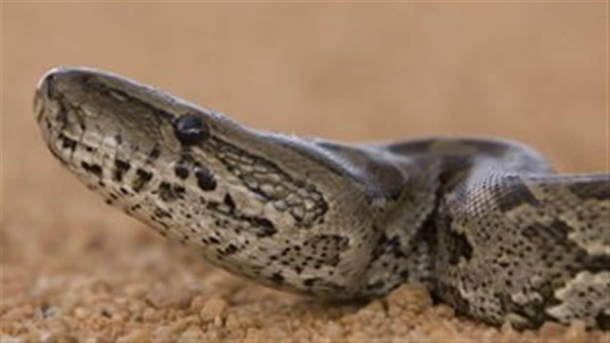 Python, l'animal se serait faufilé dans les conduits d'aération.