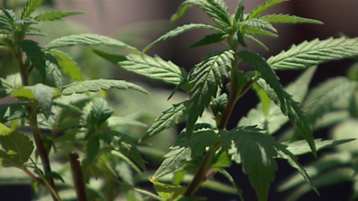 Des plants de marijuana