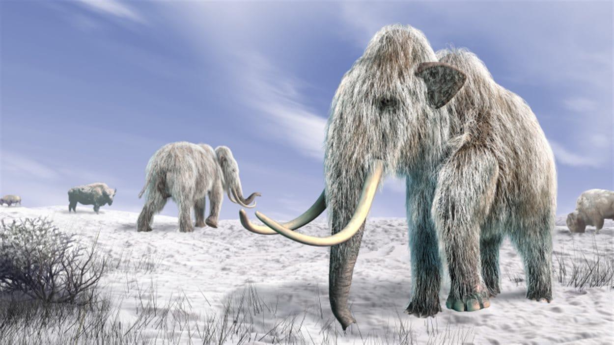 Des mammouths laineux