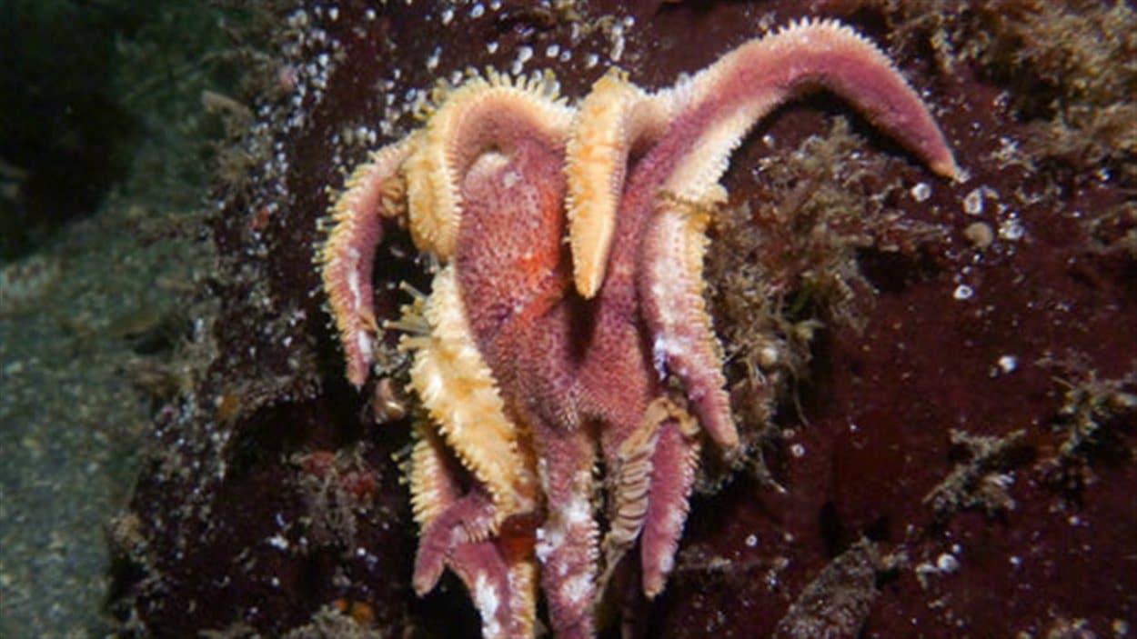 Une étoile de mer retrouvée sur une roche près de Lions Bay