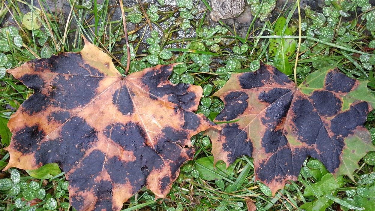 Compost De Feuilles D Érable un champignon affecte des érables de norvège à québec