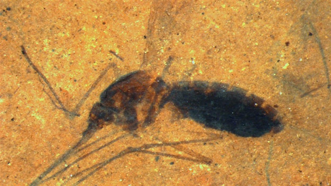 Image du moustique fossilisé avec du sang dans son abdomen.