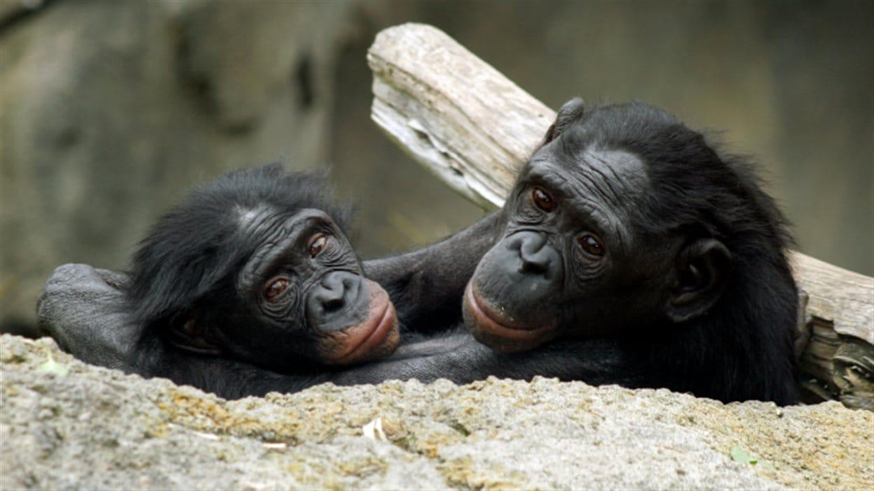 Deux bonobos