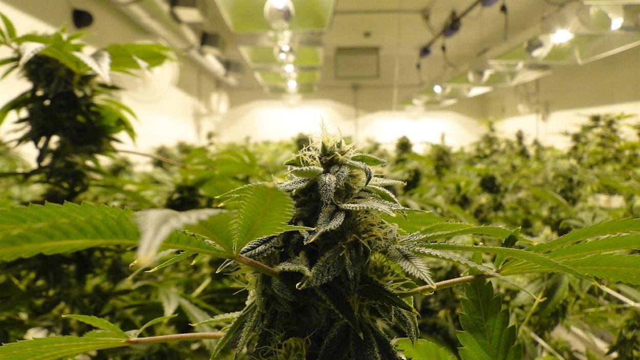 Les distributeurs de marijuana comme 3D cultivent une grande partie de leur production dans des parcs industriels de Denver.