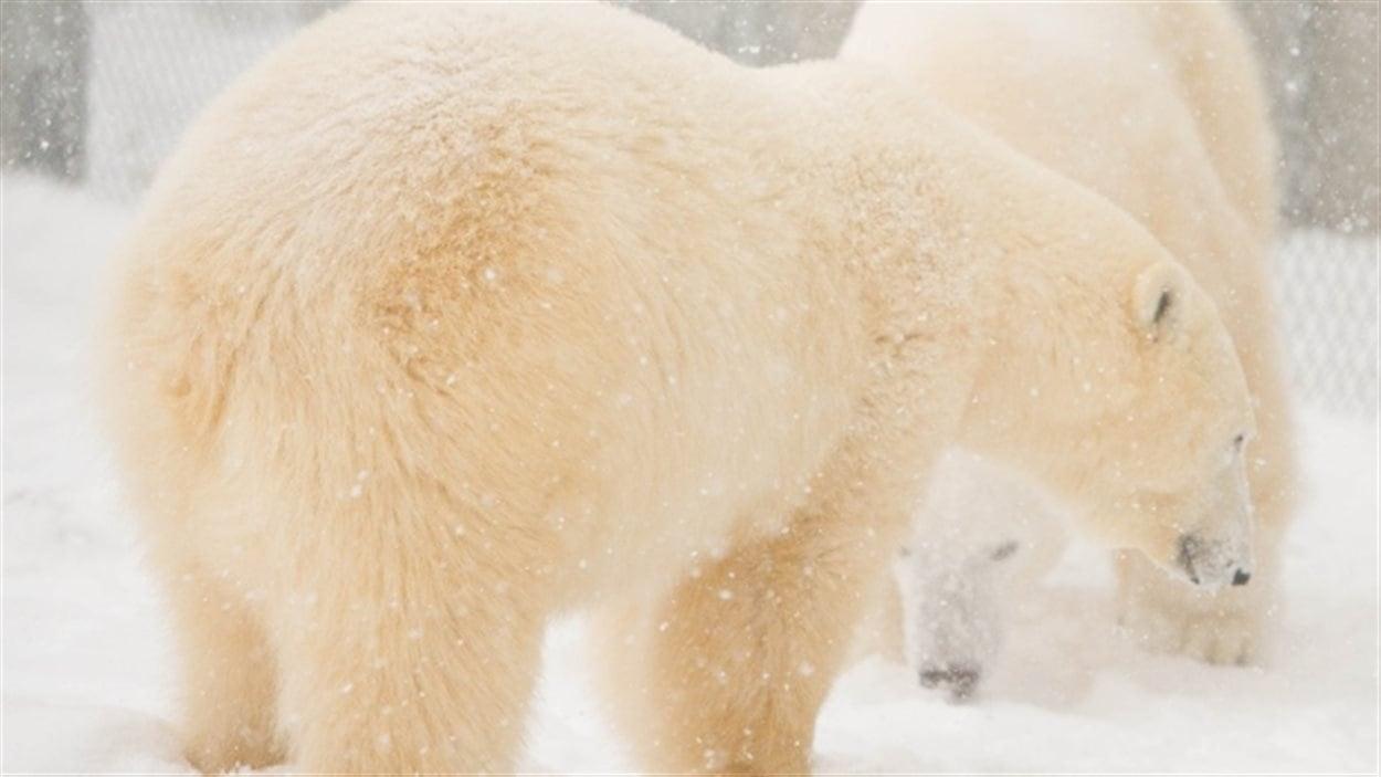 Les deux ours polaires Storm et Hudson