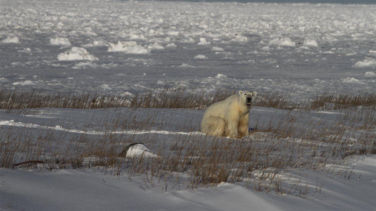 Un ours polaire à Churchill