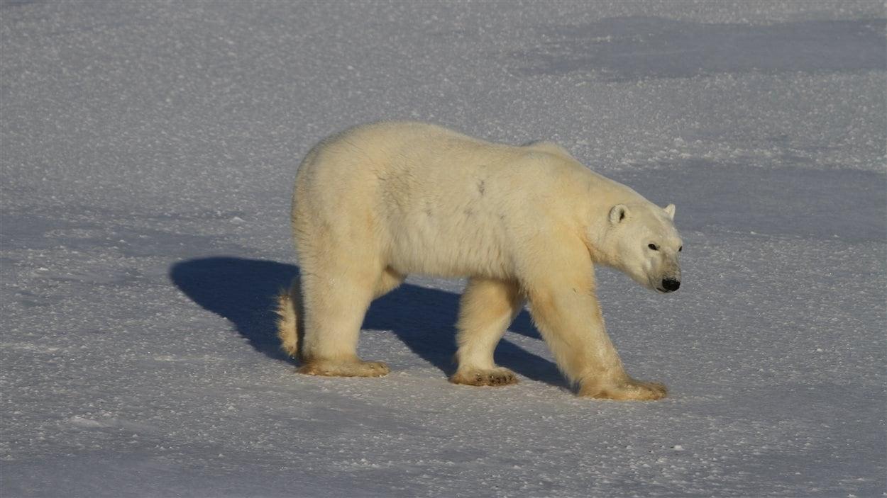 Un ours polaires