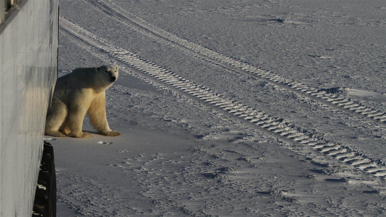 Un ours près d'un Tundra Buggy à Churchill