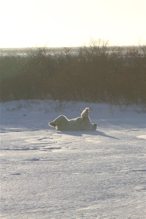 Un ours polaire couché sur le dos