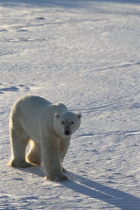 Un ours blanc
