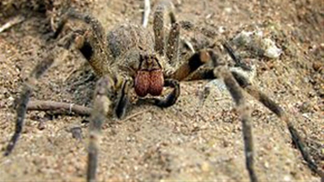 L'araignée Phoneutria nigriventer