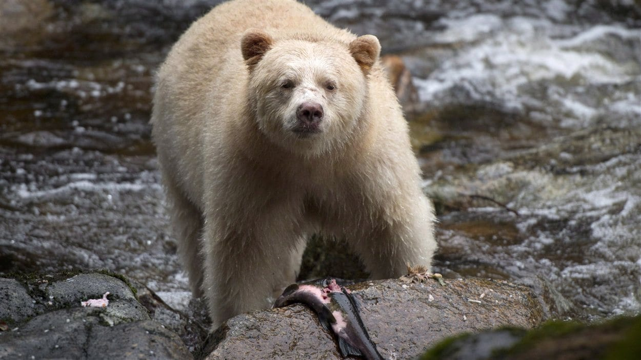 Un ours kermode, «l'ours spirituel», pêche dans la rivière Rioddan, dans l'île Gribbell située dans la forêt pluviale Great Bear.