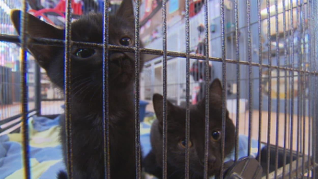 Des chatons à vendre dans une animalerie