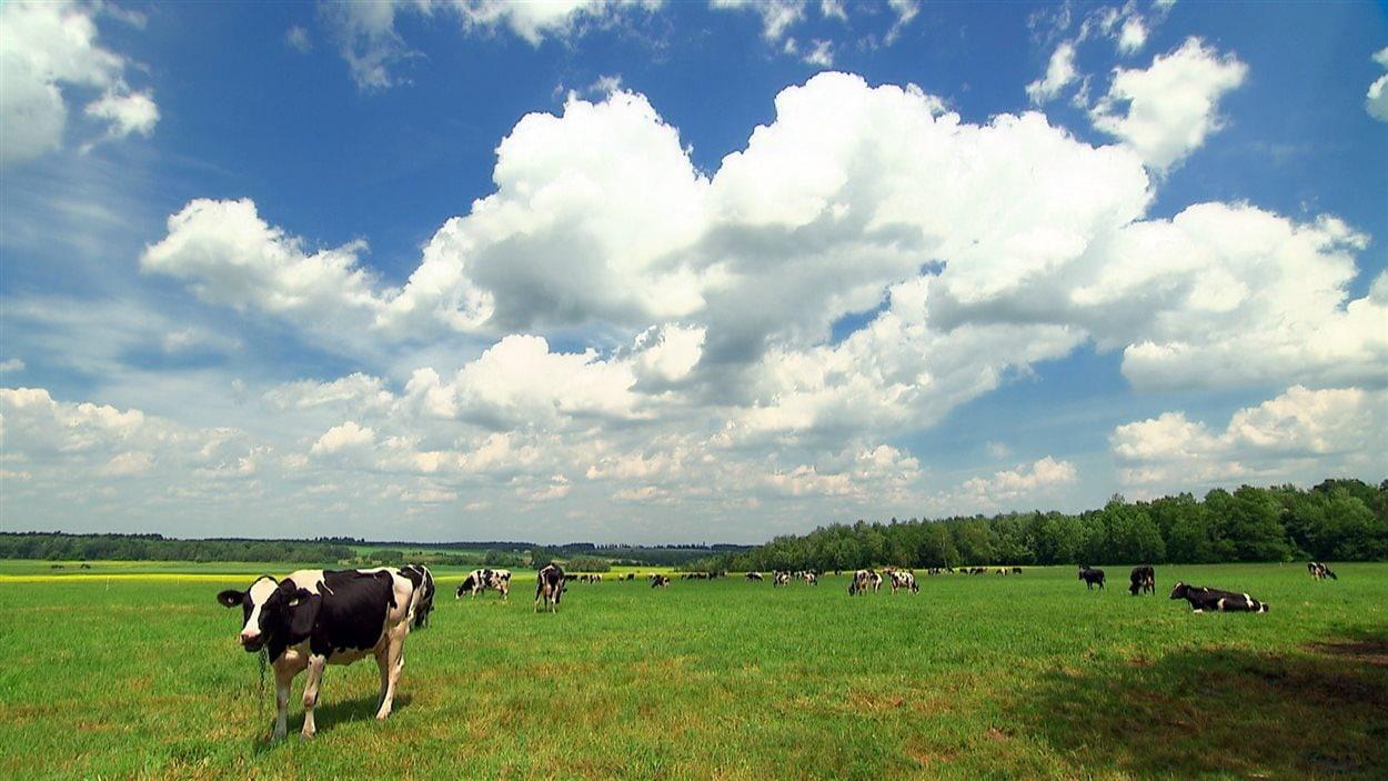 Des bovins au pâturage dans un champ du Québec