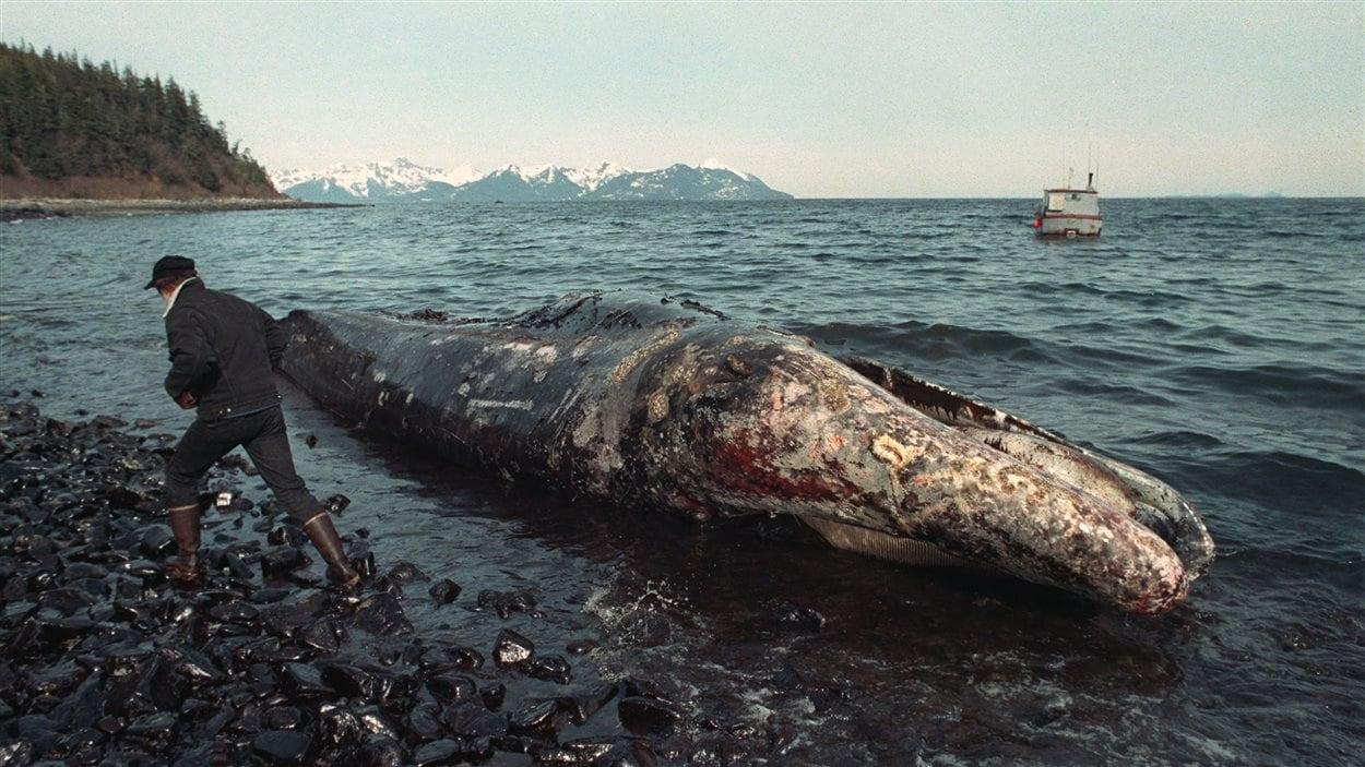 Un pêcheur local inspecte une baleine grise morte, environ deux semaines après le déversement.
