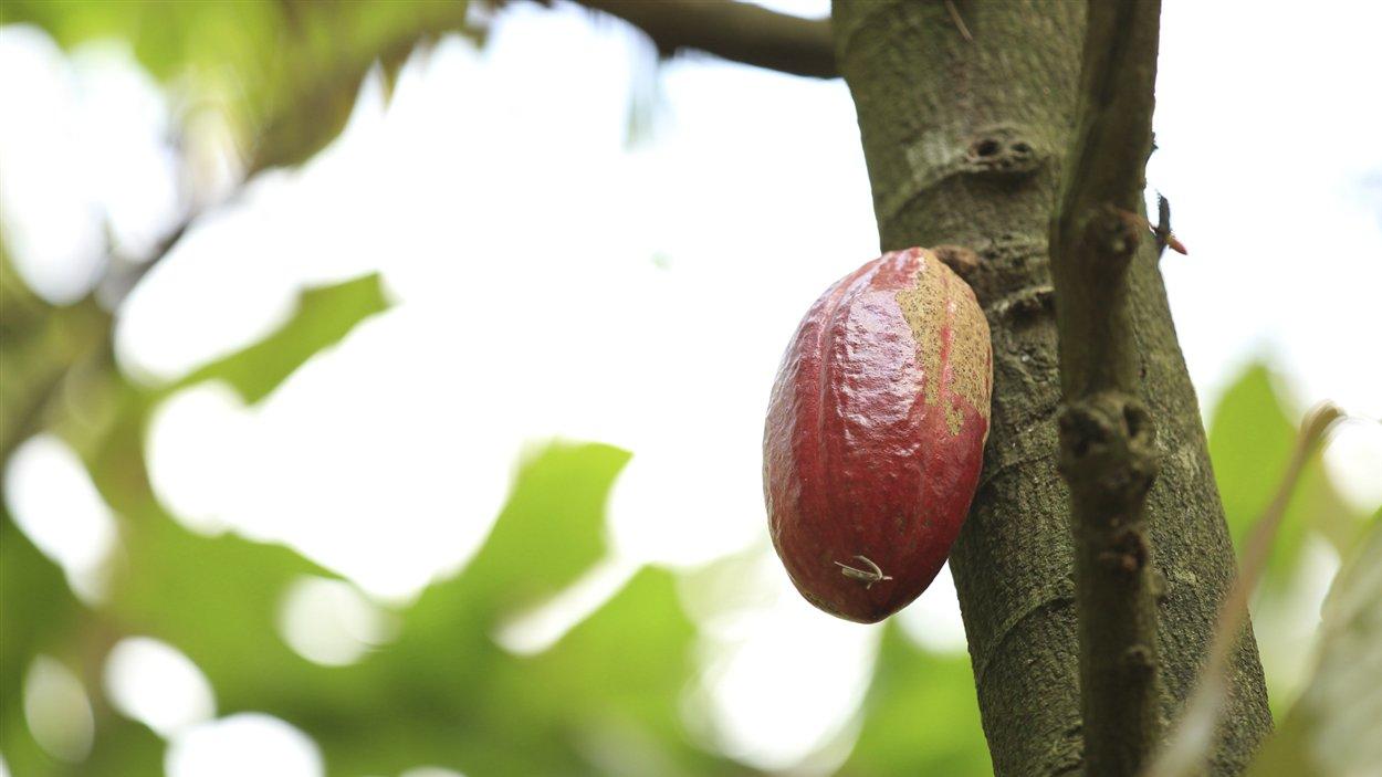 Une cabosse, ce fruit du cacaoyer contenant les graines de cacao.