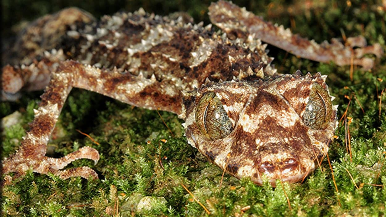 Le gecko à queue plate du nord de l'Australie