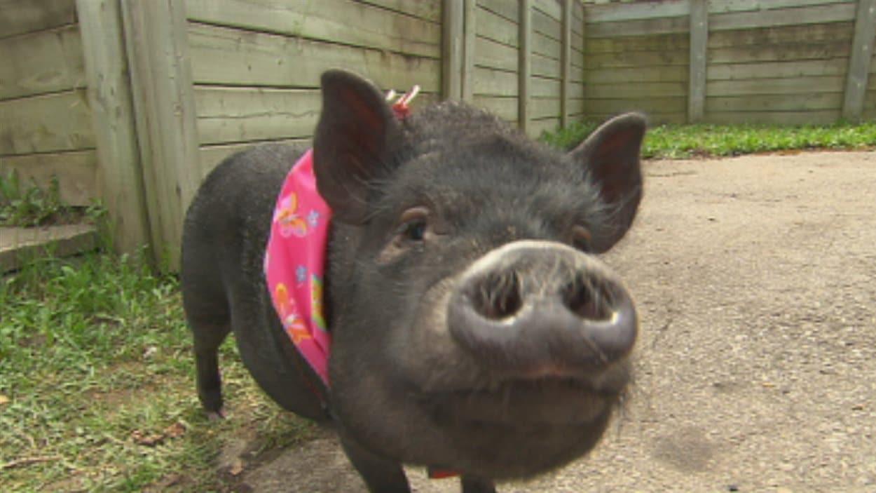 Un Cochon Comme Animal De Compagnie Radio Canada Ca
