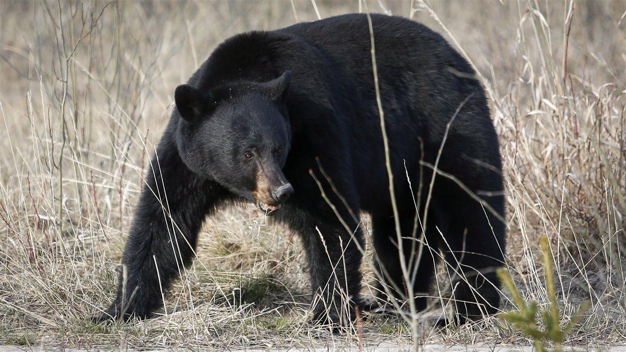 Un ours noir cherche de la nourriture dans le parc de Jasper