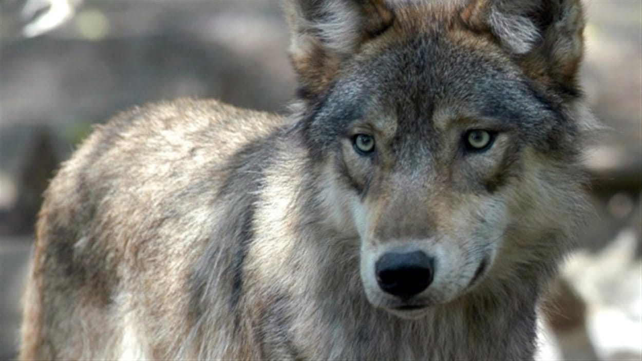 Les loups des îles situées au large de la côte britanno-colombienne ont un régime alimentaire composé à 90 % de fruits de mer, ce qui inclut le saumon, la palourde et les moules.