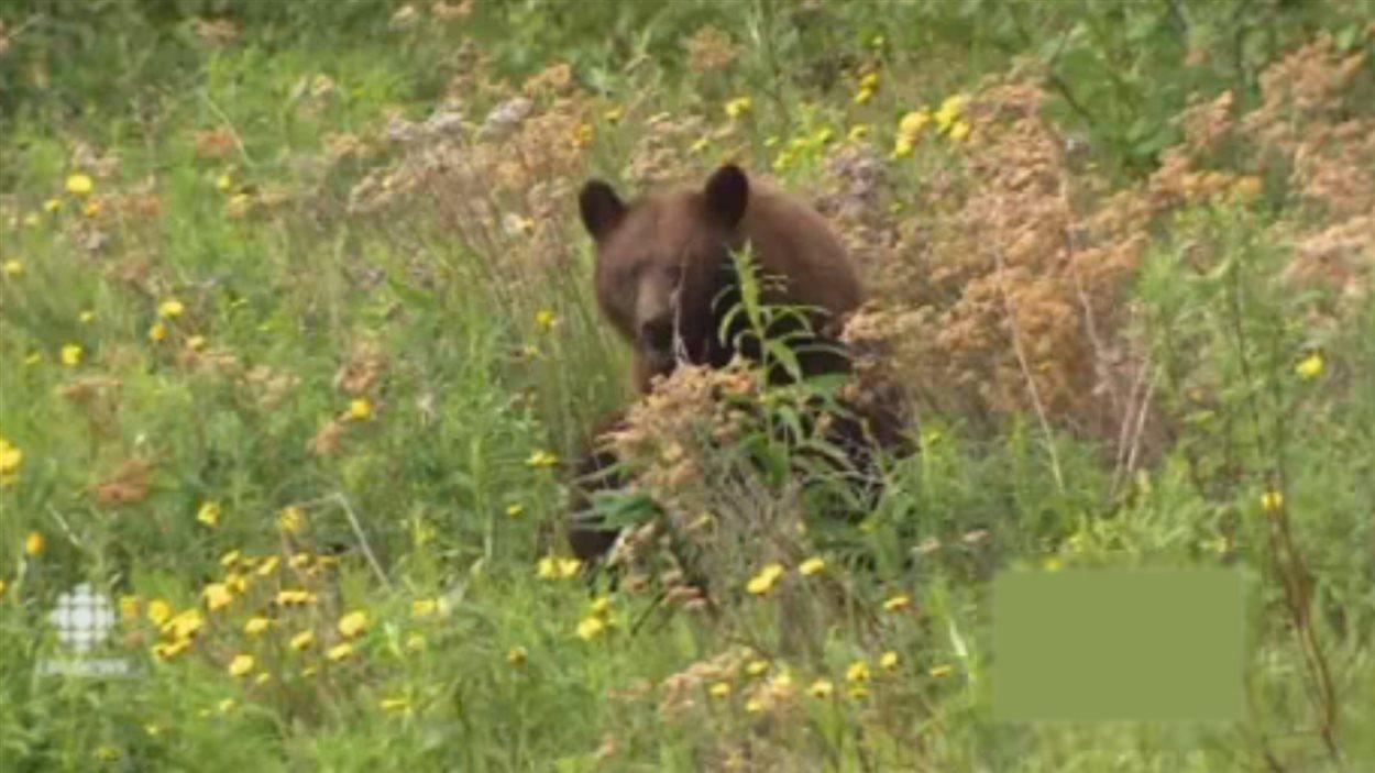 Une mère ours mange des pissenlits près d'un boulevard de Whitehorse le 18 juin 2014 alors que ses oursons s'amusent un peu plus loin.
