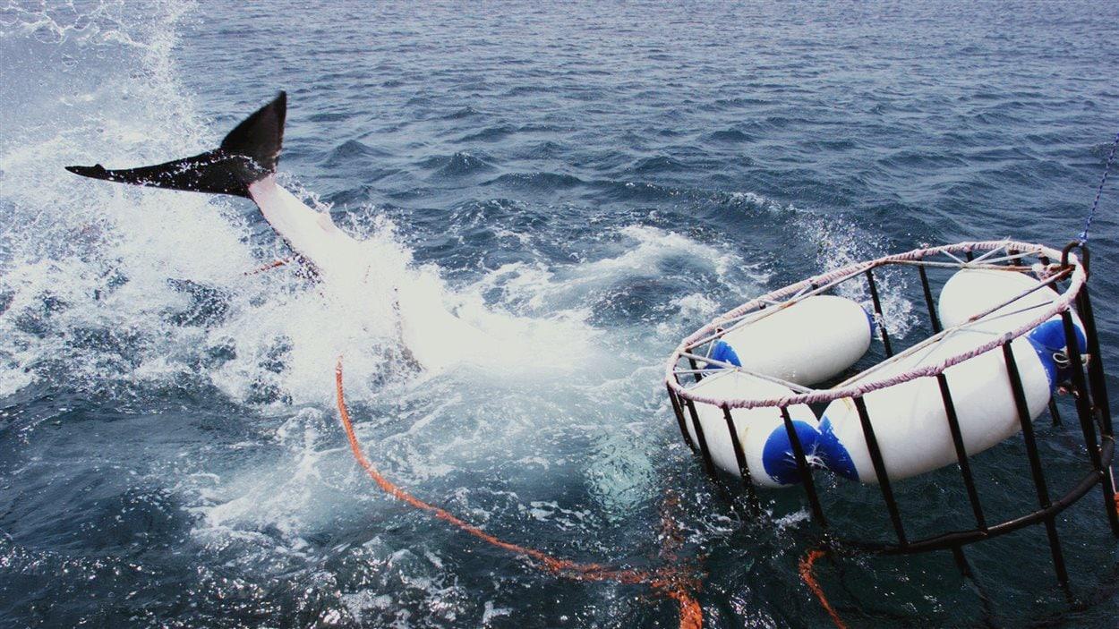 Un grand requin blanc au large de l'Afrique du Sud.