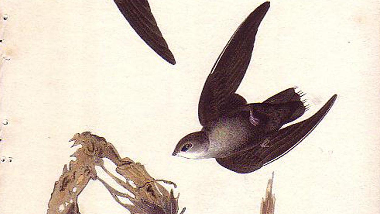 Un martinet ramoneur en vol