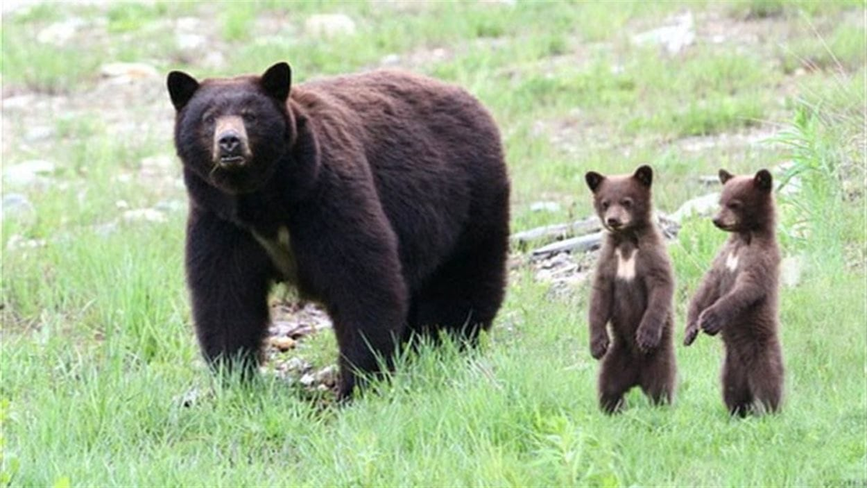 Une mère ourse noire et ses oursons